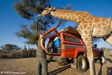 A curious baby giraffe