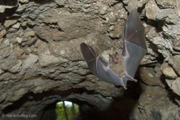 Bat flying through a tunnel in Tikal, Guatemala