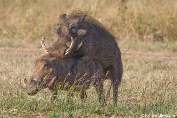 Warthogs in Love, South Africa