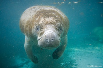 The Wise Old Manatee