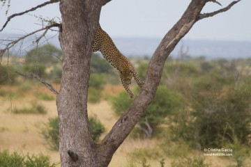 Leopard Climbing Down a Tree, Kruger NP