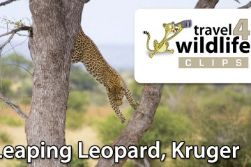 leaping-leopard