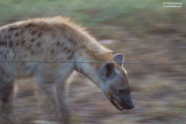 Spotted hyaena by the fence