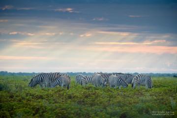 Zebras on a Stormy Afternoon, Etosha NP