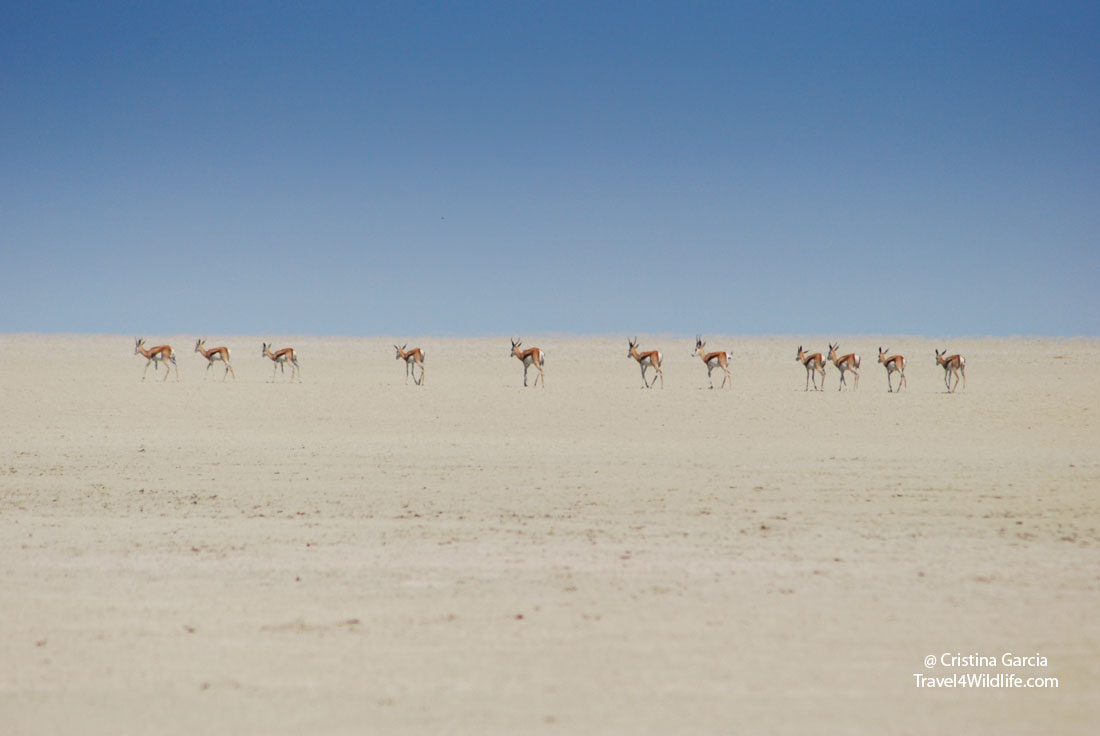 Springbok crossing the Etosha Pan