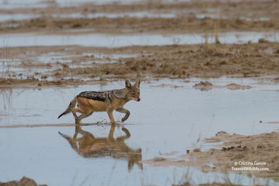 Black-backed jackal walking across the Etosha Pan during the rainy season