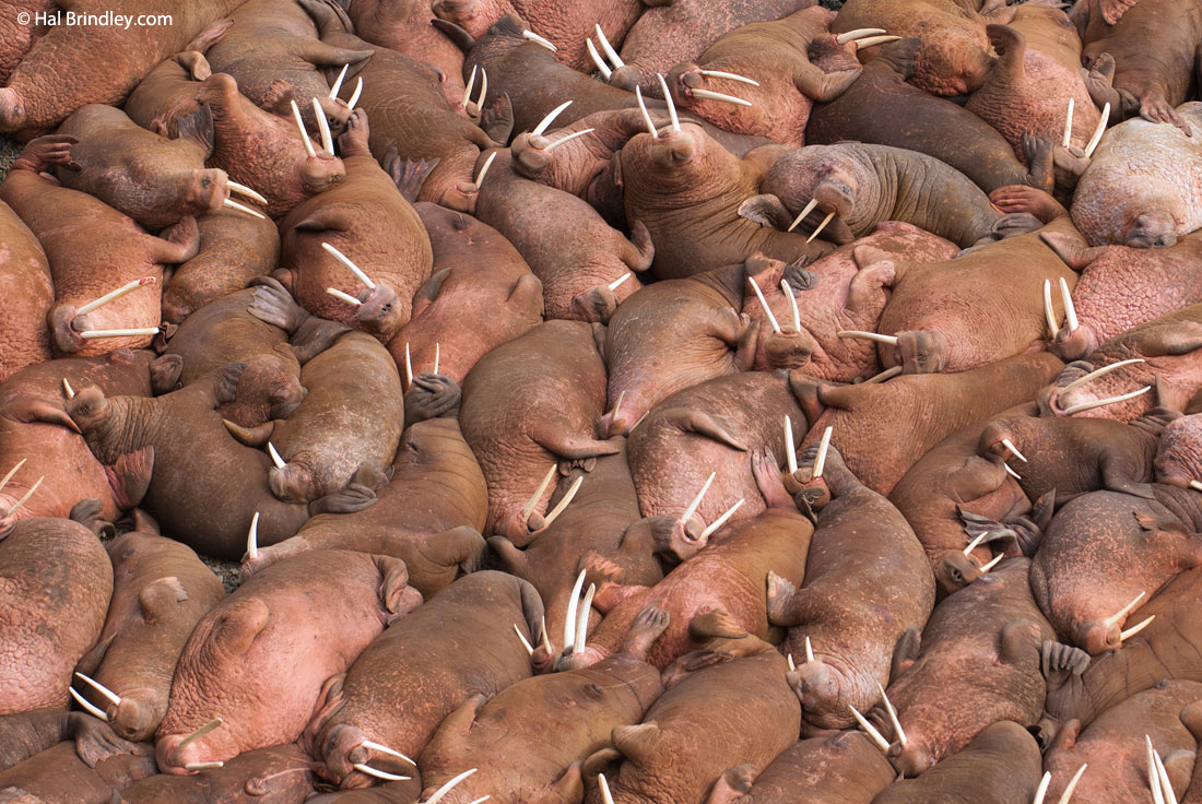 walruses1
