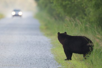 Black bear by the road in the Alligator River National Wildlife Refuge, NC