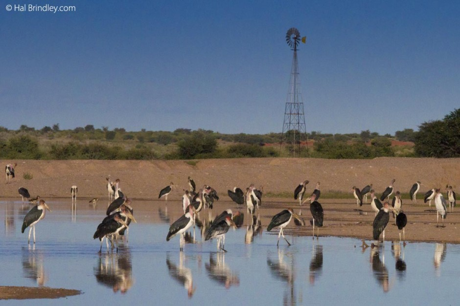 Marabou storks at the Anib Lodge waterhole