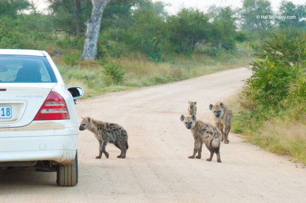 Some animals, like hyenas, are most easily spotted in the early morning.