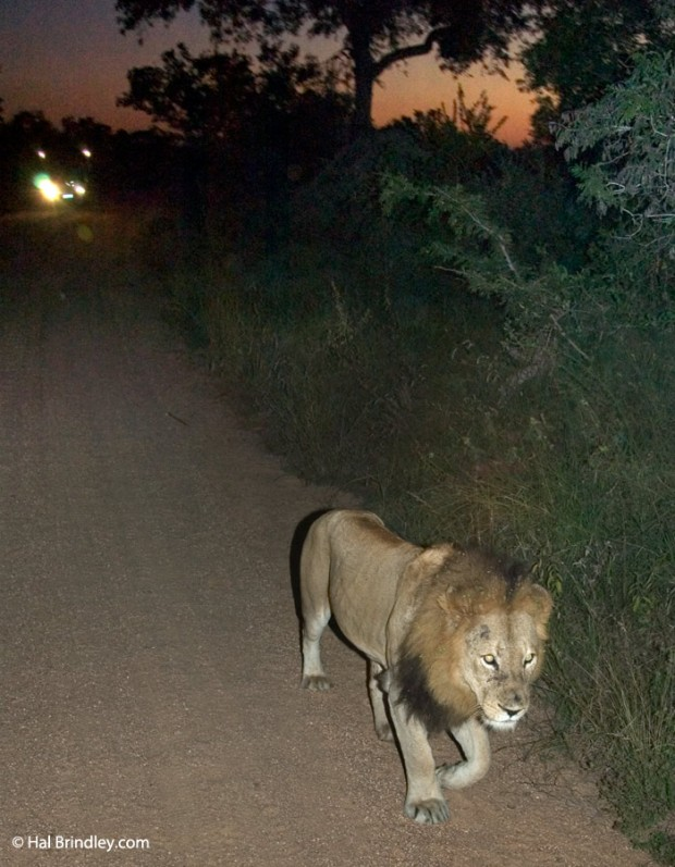 Your best chance of observing lions in action is on a night drive.