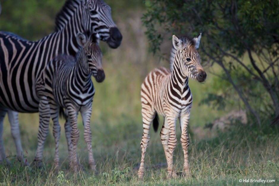 See new-born zebra foals in the summer wet season.