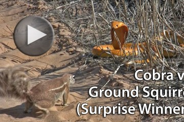 cobra-vs-squirrel