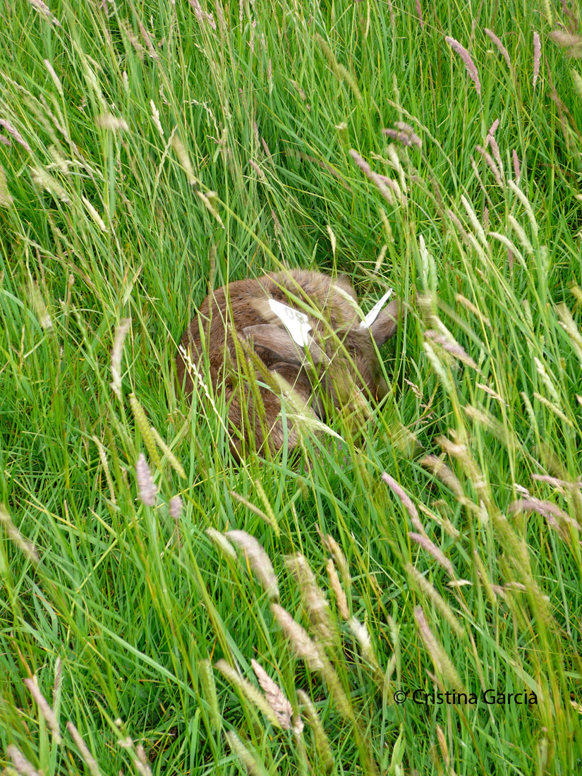 A fallow deer fawn hiding in the tall grass