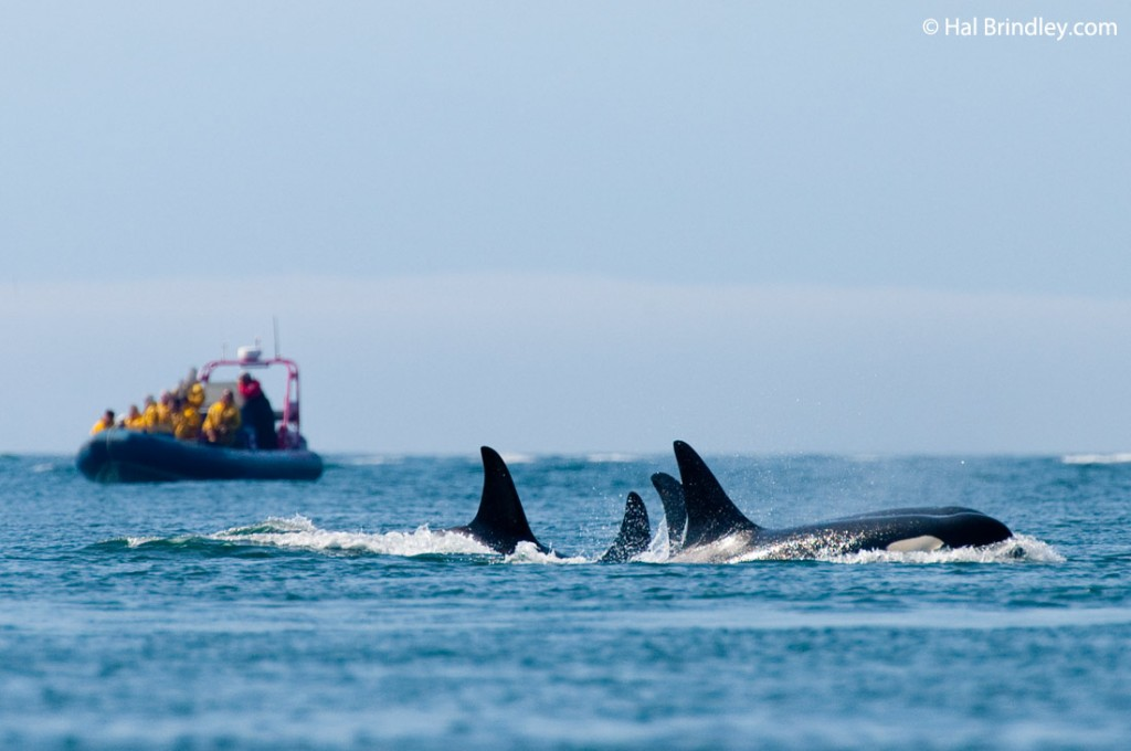 Best Whale Watching Tours Campbell River Bc