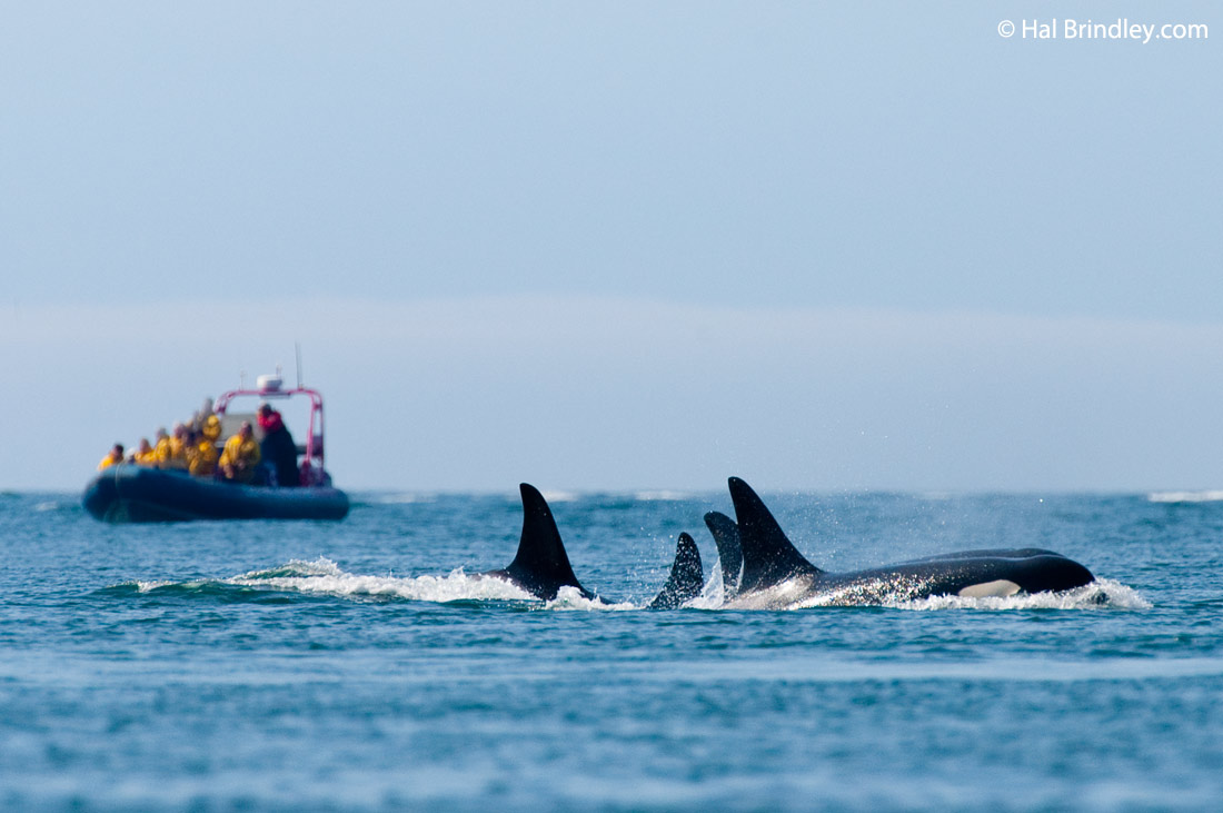 Killer Whale Tours In Alaska