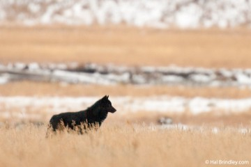 A black wolf in Yellowstone National Park