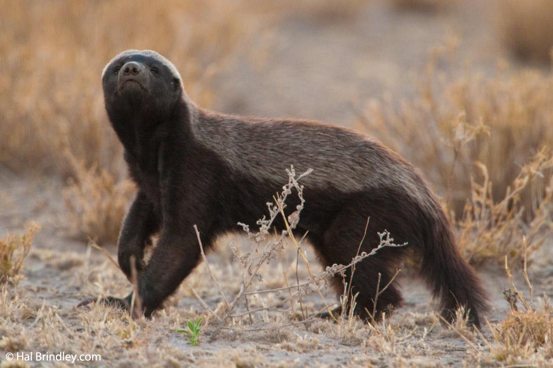 http://travel4wildlife.com/wp-content/uploads/2012/11/honey-badger.jpg