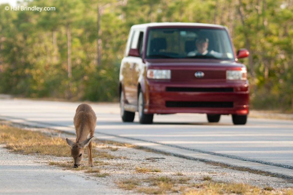 Do not speed up in Key deer habitat