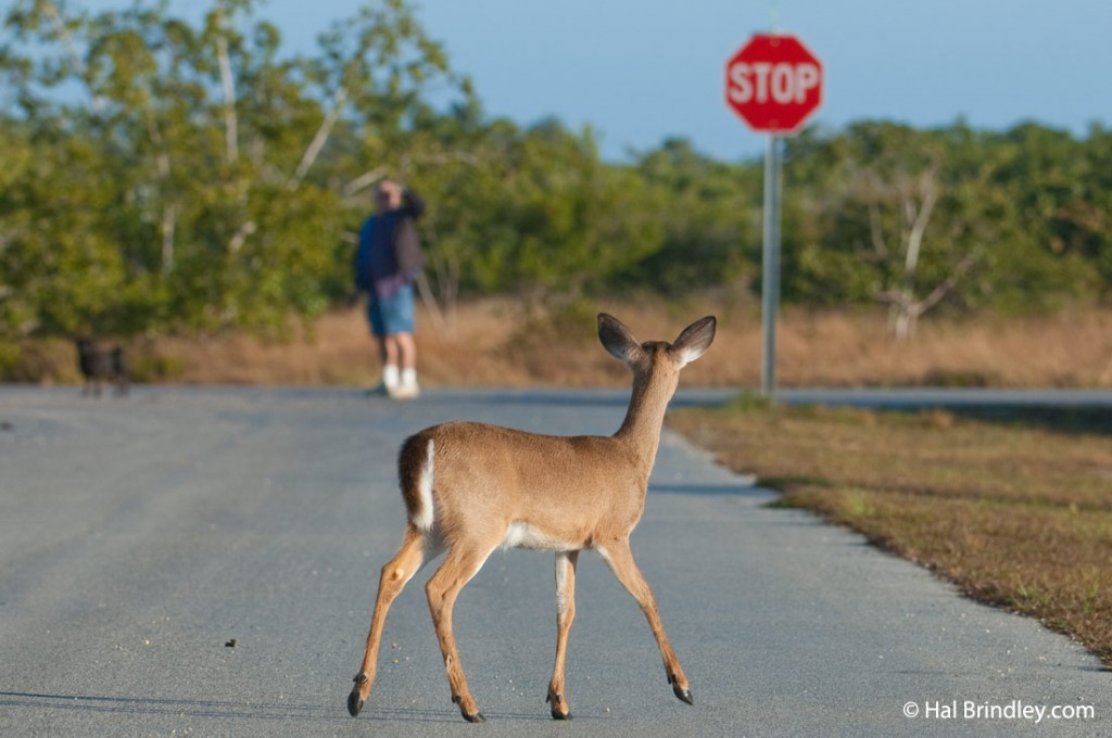 Key deer on a road