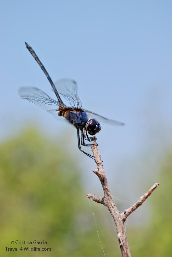 A dragonfly in the Okavango