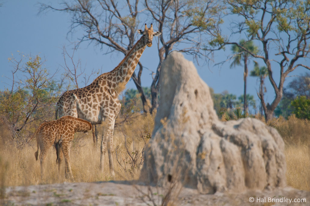 A baby giraffe nursing near a large termite mound.
