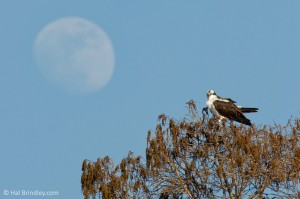An osprey and the rising moon, Crystal River.