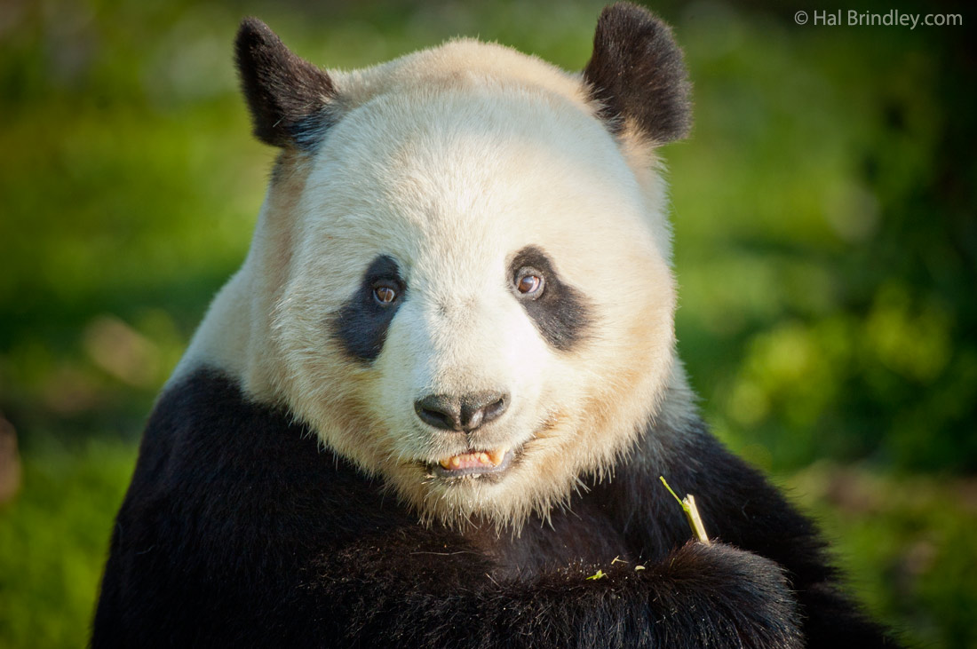 giant panda and wildlife conservation essay 5 conservation and use of wildlife-based resources: the bushmeat crisis foreword wildlife in tropical forests is a main source of liveli.