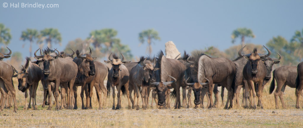 Watching Wildebeest on a walking tour.