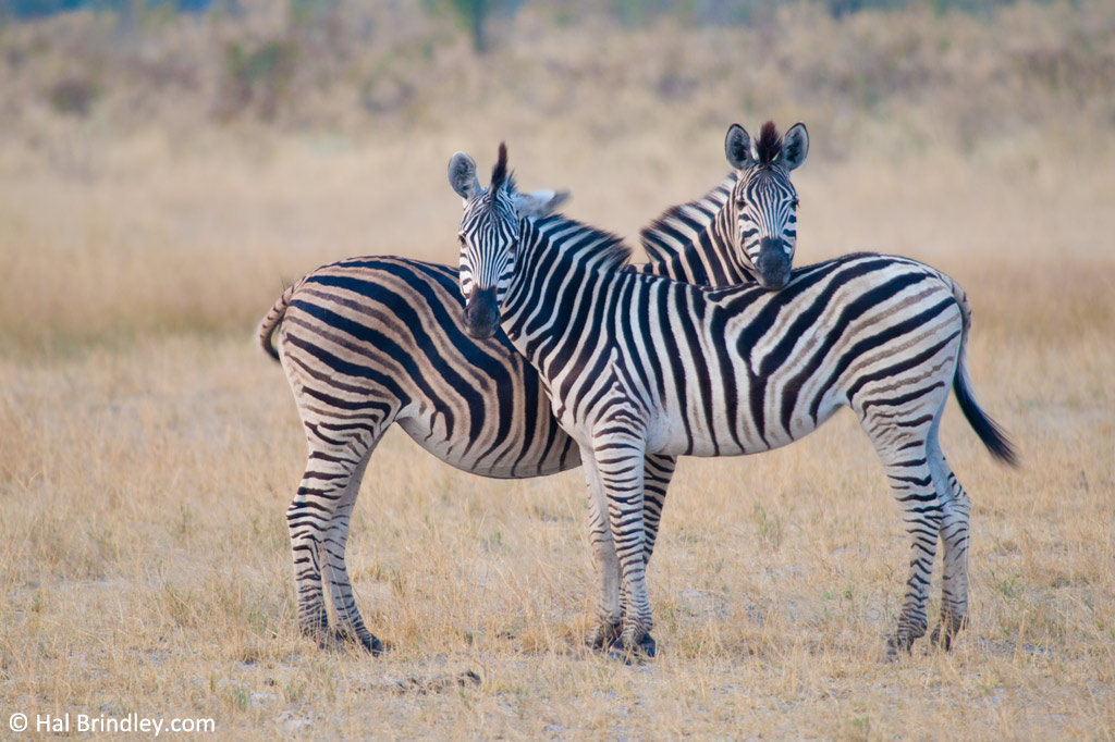 Zebras, mutual head resting in the Okavango.