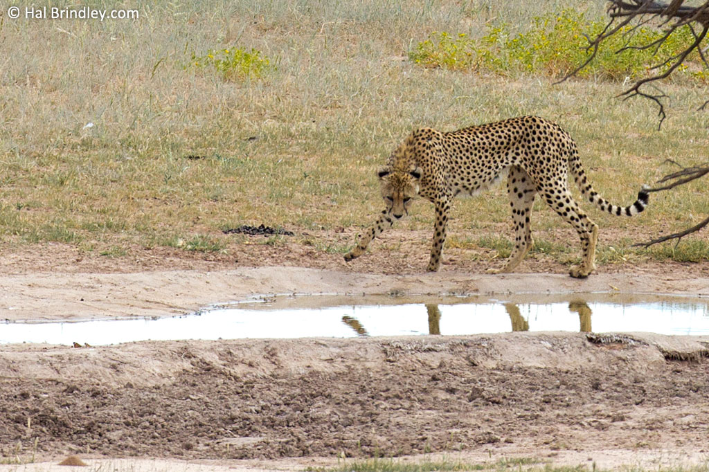 A Cheetah at the waterhole in front of the Kalahari Tented Camp.