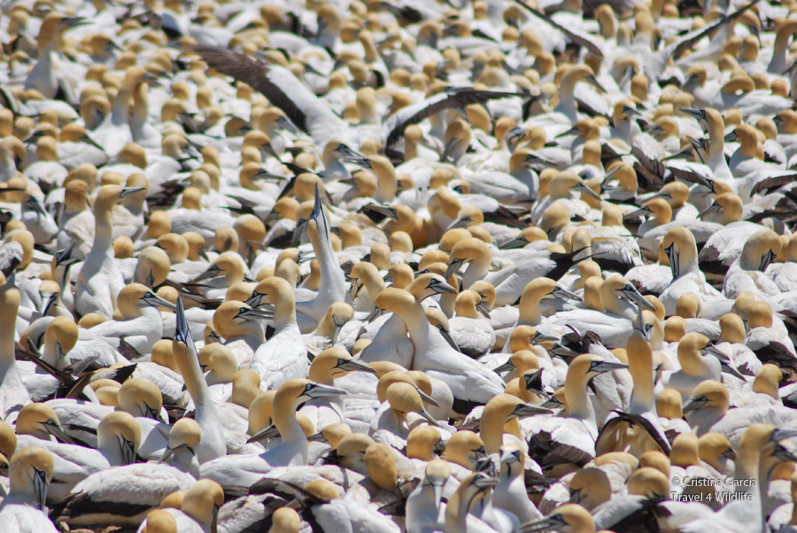 Gannet colony at Lambert's Bay, South Africa