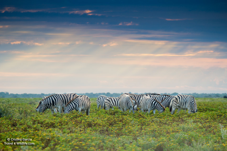 A dazzle of zebras graze on a stormy evening in Etosha, Namibia