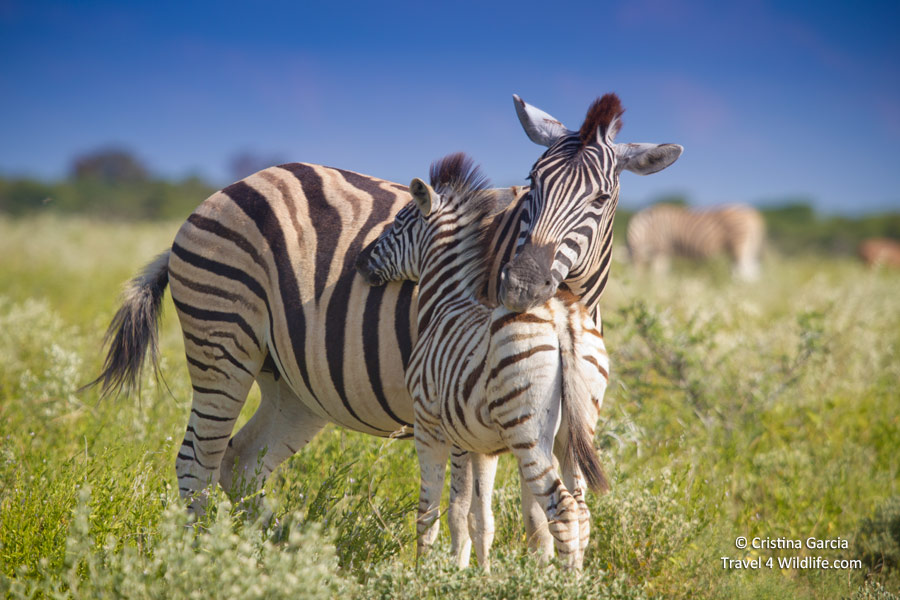 Mutual head-resting strengthens  the bond between a zebra and her foal.