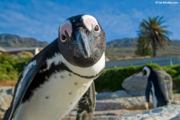 Get up close and personal with penguins in Simon's Town