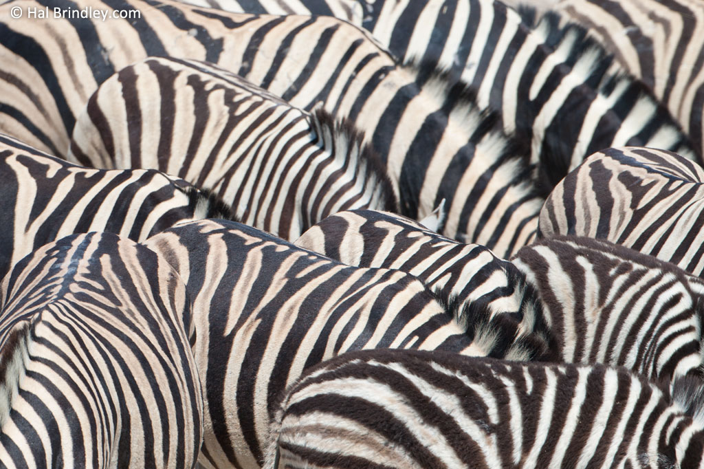 Stripe patterns may make it difficult for predators to single out an individual from a group. Notice the shadow stripes on these zebras in Namibia.
