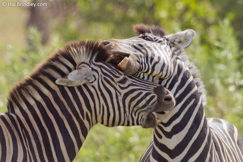 Zebra stallions will aggressively bite their opponent's head and neck during a quarrel.