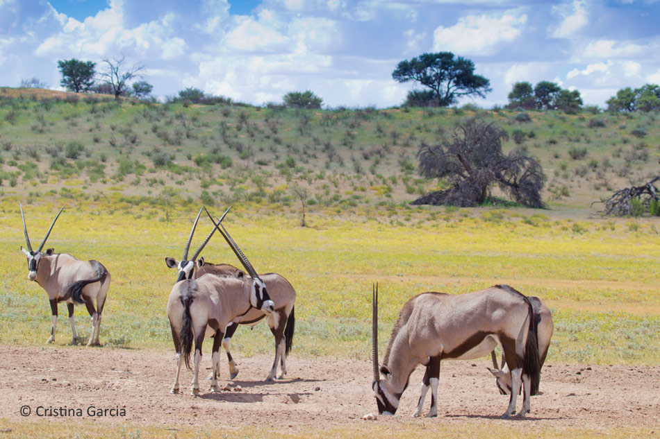 Gemsbok live in mixed groups of males and females unlike other antelope species