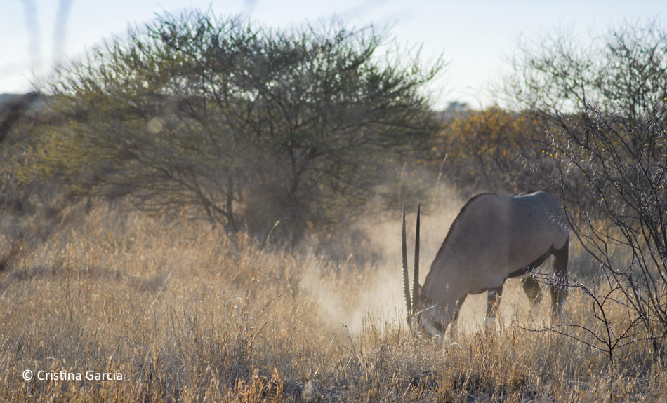 Gemsbok digging for juicy roots