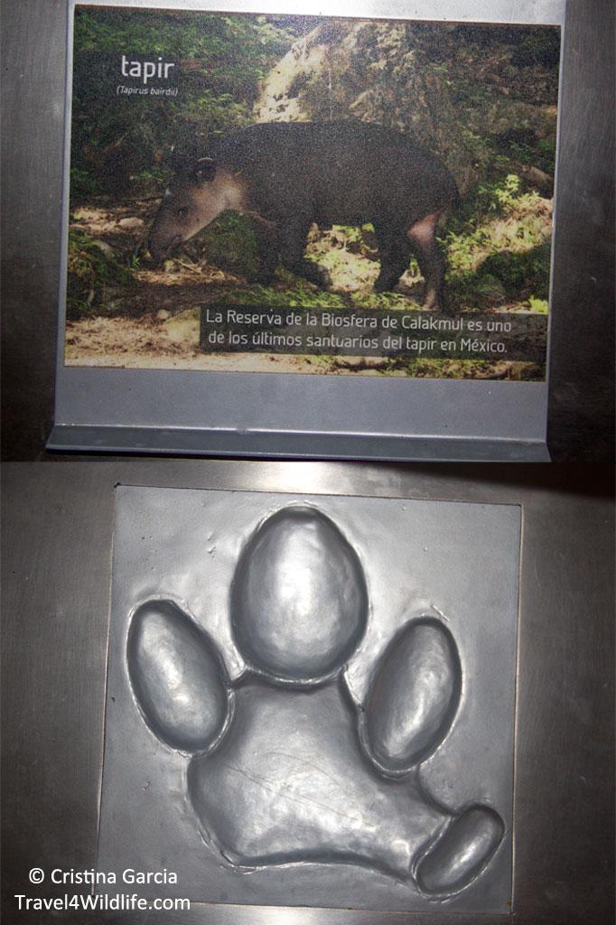 Identifying tapir prints