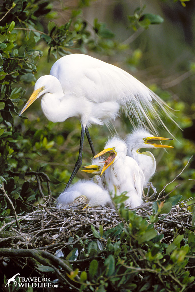 Great Egret mother with four baby egrets on the nest.