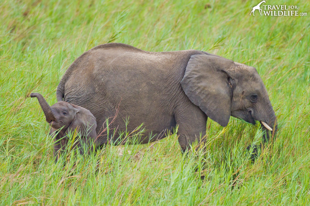 Elephant baby and mother. Kruger National Park, South Africa