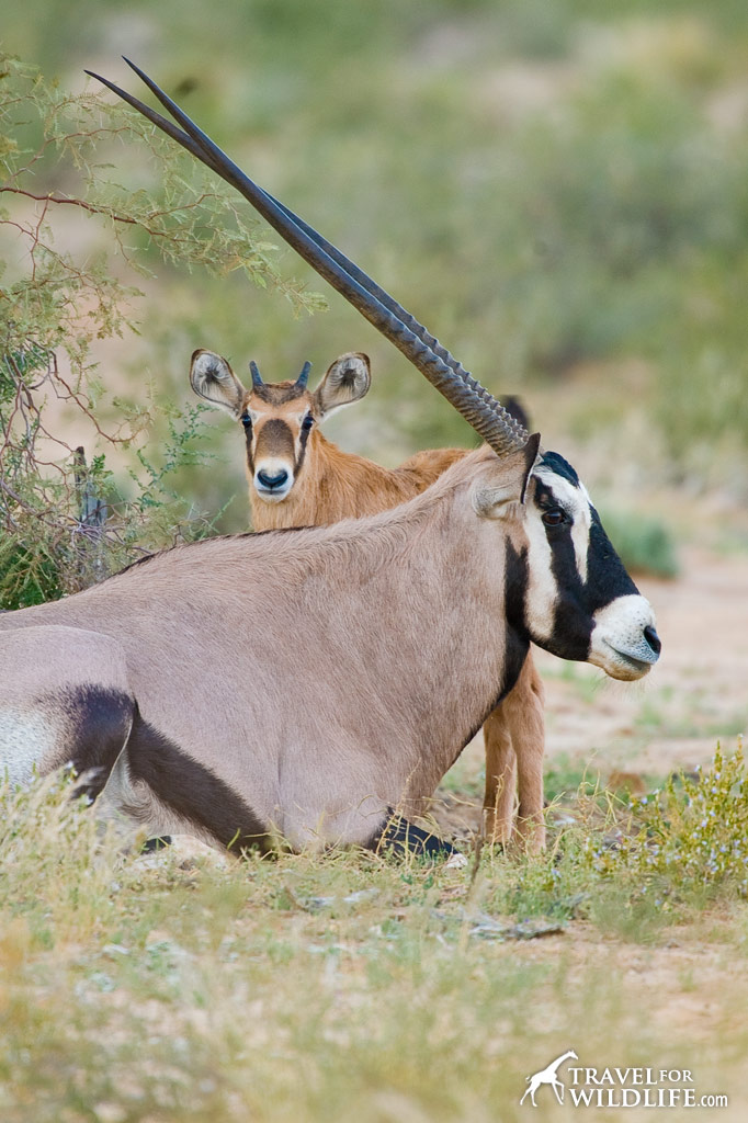 Gemsbok baby and mother. Kalahari Desert, South Africa.