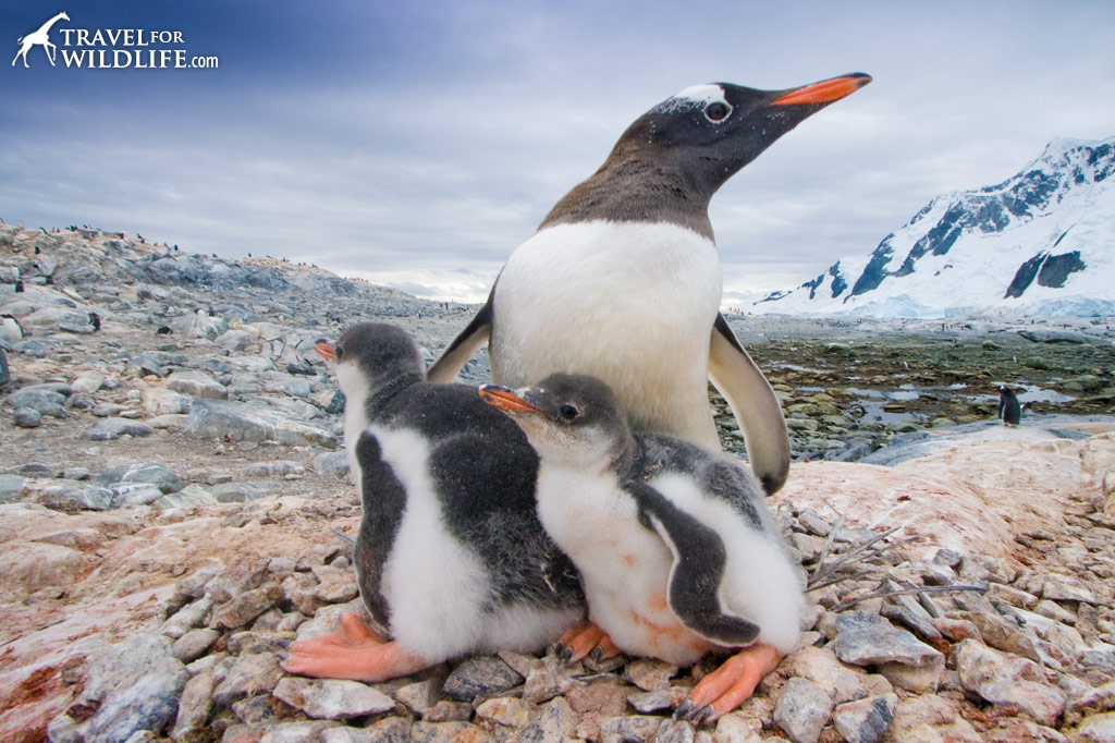 A gentoo penguin and chicks on a rocky beach in Antarctica