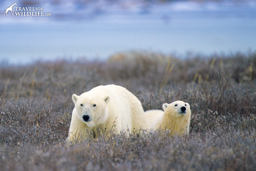 Polar bear and cub walking on the tundra in Canada