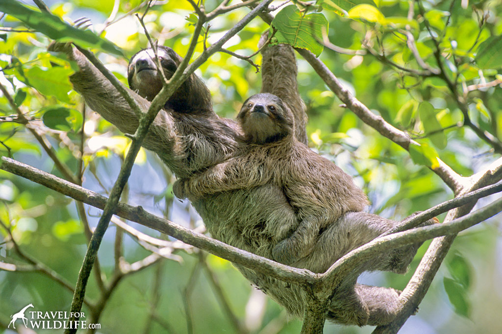 Three-toed Sloth mother and baby. Cahuita, Costa Rica.