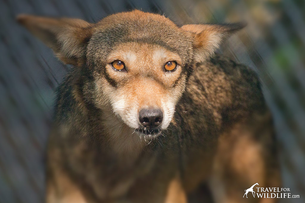 Red Wolf Howling Howling With Red Wolve...