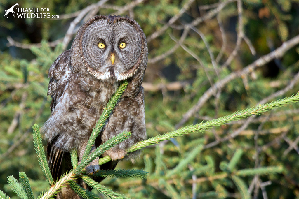 A Great Gray Owl in Duck Mountain Provincial Park, Manitoba