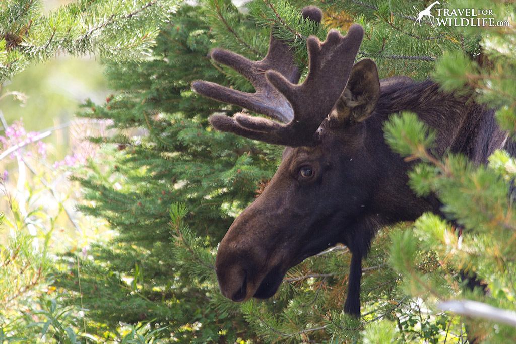 You might see a moose wander down the main street in Silver Gate, MT