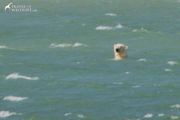 polarbear-swim